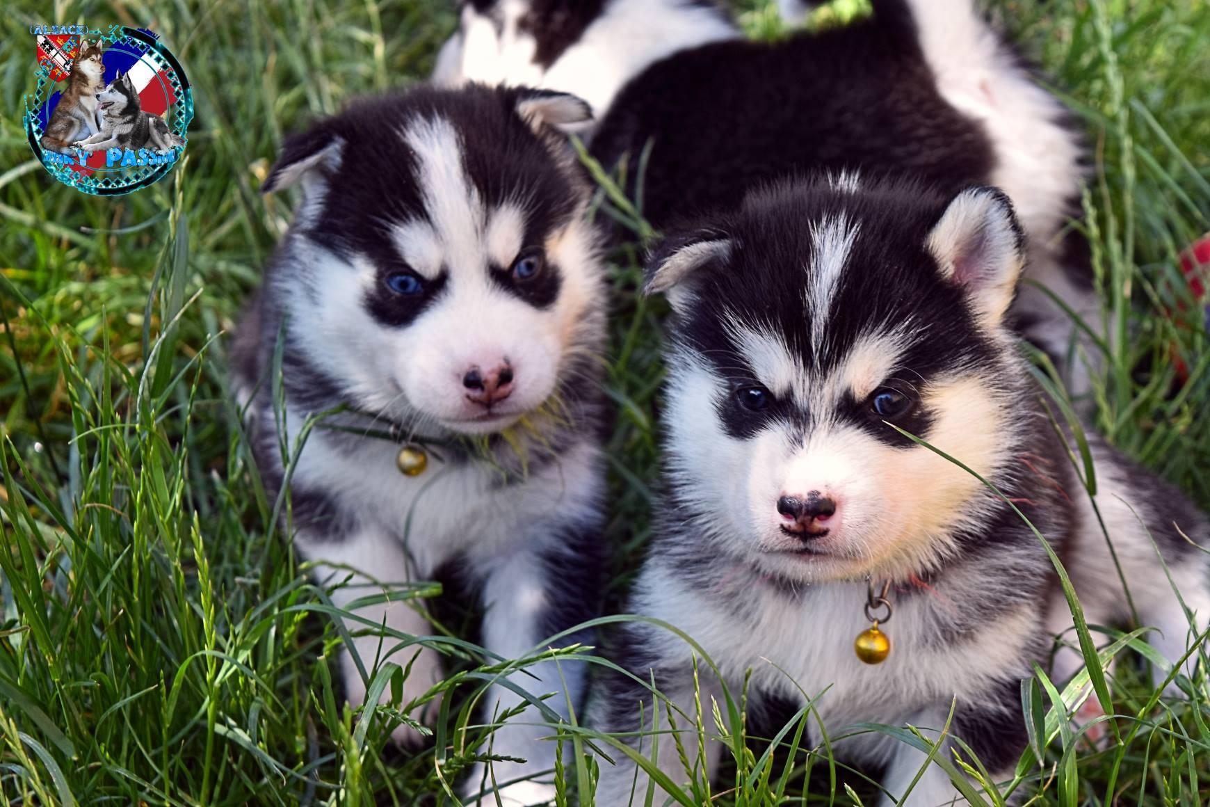 Petites Annonces A Donner Tres Urgent Chiots Husky Siberien